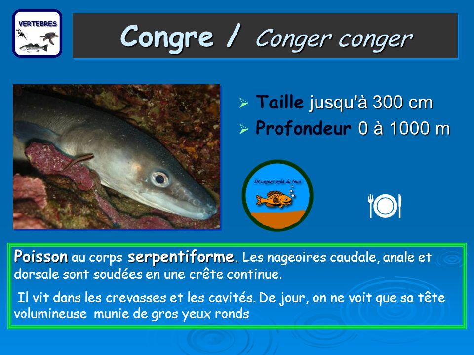 Congre / Conger conger Taille j jj jusqu à 300 cm Profondeur 0 00 0 à 1000 m Poisson serpentiforme.