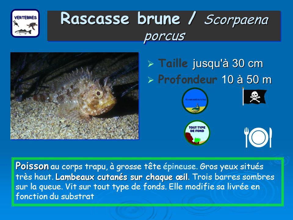 Rascasse brune / Scorpaena porcus Taille j jj jusqu à 30 cm Profondeur 10 à 50 m Poisson Lambeaux cutanés sur chaque œil Poisson au corps trapu, à grosse tête épineuse.
