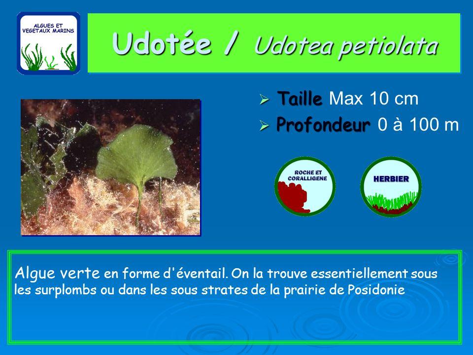 Udotée / Udotea petiolata Taille Taille Max 10 cm Profondeur Profondeur 0 à 100 m Algue verte en forme d éventail.
