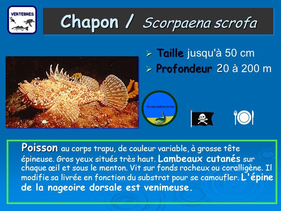 Chapon / Scorpaena scrofa Taille Taille jusqu à 50 cm Profondeur 2 Profondeur 2 0 à 200 m P oisson au corps trapu, de couleur variable, à grosse tête épineuse.