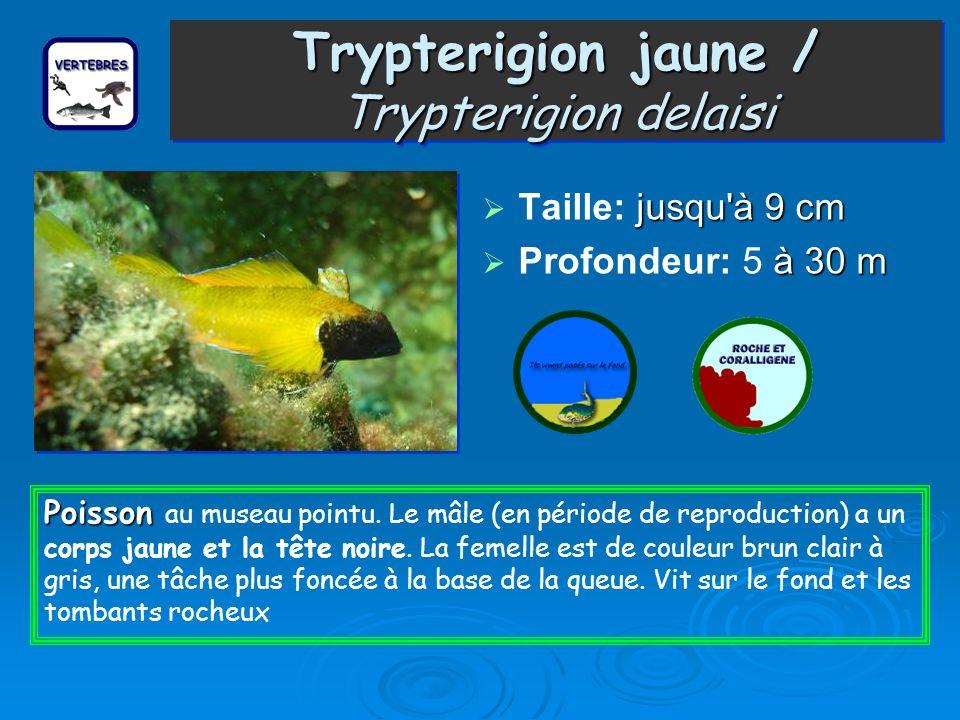 Trypterigion jaune / Trypterigion delaisi Taille: j jj jusqu à 9 cm Profondeur: 5 à 30 m Poisson Poisson au museau pointu.