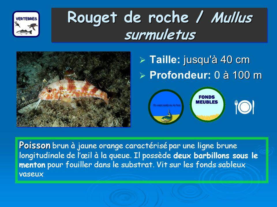 Rouget de roche / Mullus surmuletus Taille: j jj jusqu à 40 cm Profondeur: 0 à 100 m Poisson Poisson brun à jaune orange caractérisé par une ligne brune longitudinale de lœil à la queue.