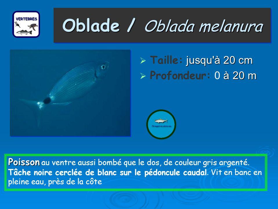 Oblade / Oblada melanura Taille: j jj jusqu à 20 cm Profondeur: 0 à 20 m Poisson Poisson au ventre aussi bombé que le dos, de couleur gris argenté.