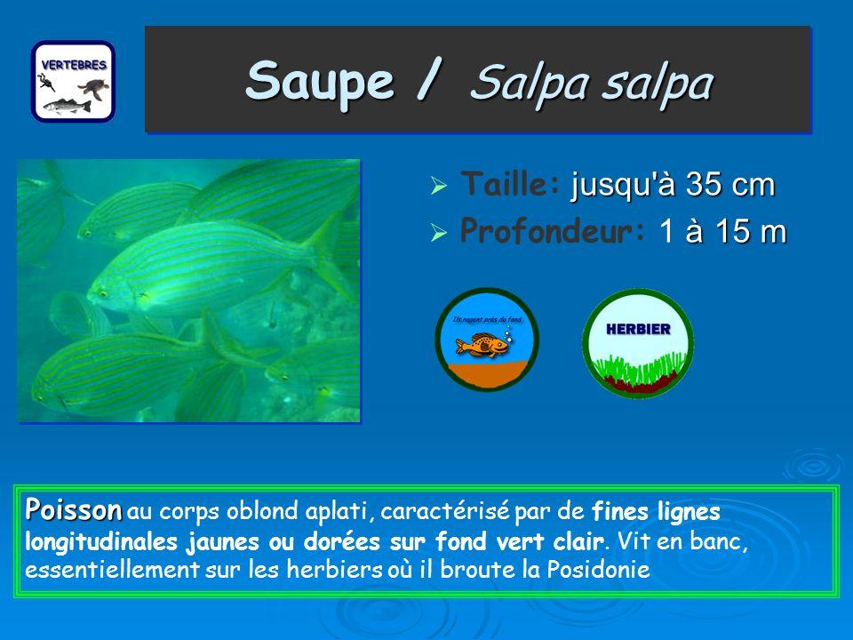 Saupe / Salpa salpa Taille: j jj jusqu à 35 cm Profondeur: 1 à 15 m Poisson Poisson au corps oblond aplati, caractérisé par de fines lignes longitudinales jaunes ou dorées sur fond vert clair.