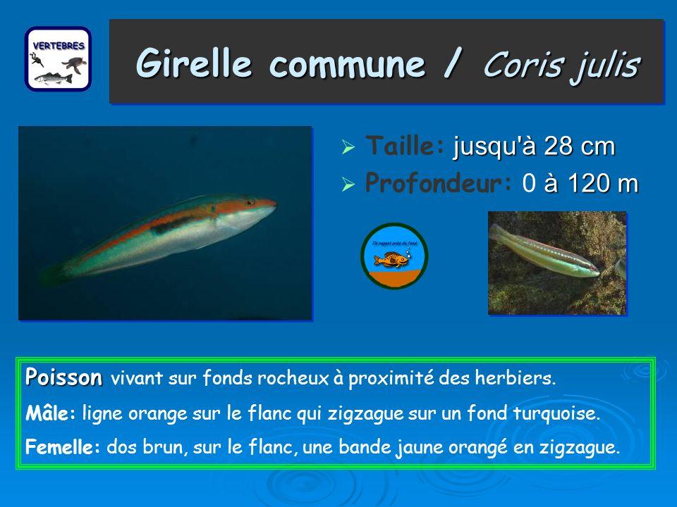 Girelle commune / Coris julis Taille: j jj jusqu à 28 cm Profondeur: 0 à 120 m Poisson Poisson vivant sur fonds rocheux à proximité des herbiers.