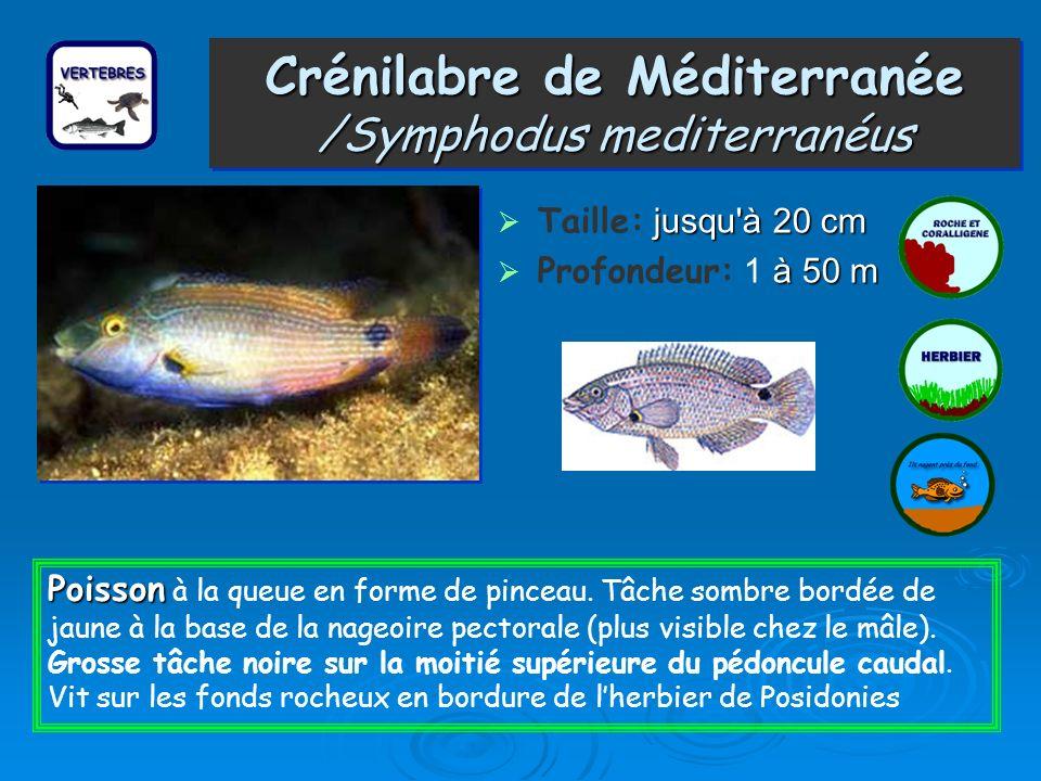 Crénilabre de Méditerranée /Symphodus mediterranéus Taille: j jj jusqu à 20 cm Profondeur: 1 à àà à 50 m Poisson Poisson à la queue en forme de pinceau.
