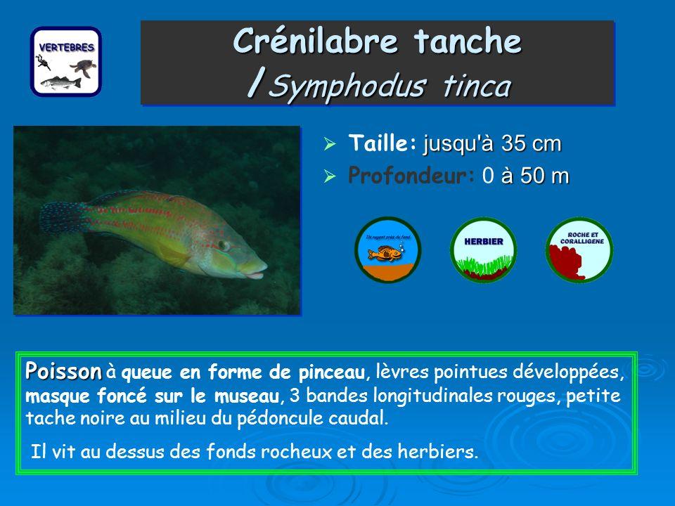 Crénilabre de Méditerranée /Symphodus mediterranéus Taille: j jj jusqu'à 20 cm Profondeur: 1 à àà à 50 m Poisson Poisson à la queue en forme de pincea