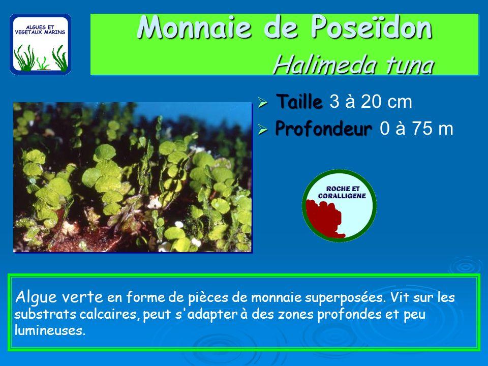 Udotée / Udotea petiolata Taille Taille Max 10 cm Profondeur Profondeur 0 à 100 m Algue verte en forme d'éventail. On la trouve essentiellement sous l