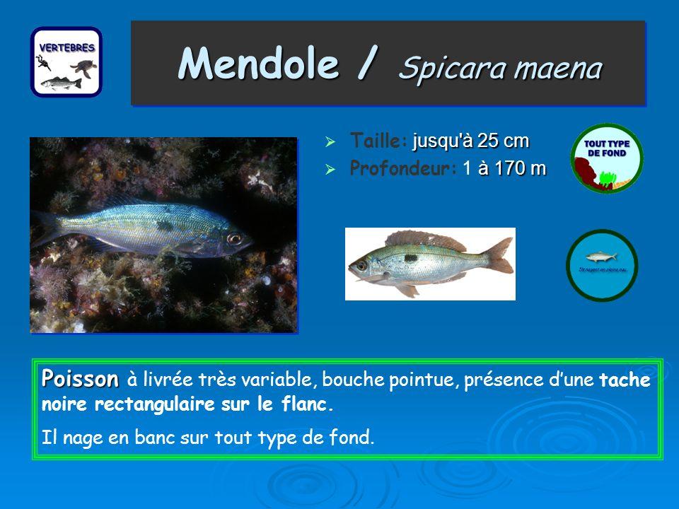 Mendole / Spicara maena Taille: j jj jusqu à 25 cm Profondeur: 1 à àà à 170 m Poisson Poisson à livrée très variable, bouche pointue, présence dune tache noire rectangulaire sur le flanc.