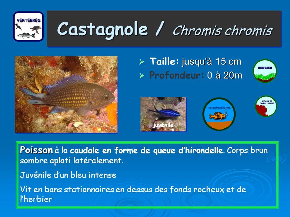 Castagnole / Chromis chromis Taille: j jj jusqu à 15 cm Profondeur: 0 à àà à 20m juvénile Poisson Poisson à la caudale en forme de queue dhirondelle.