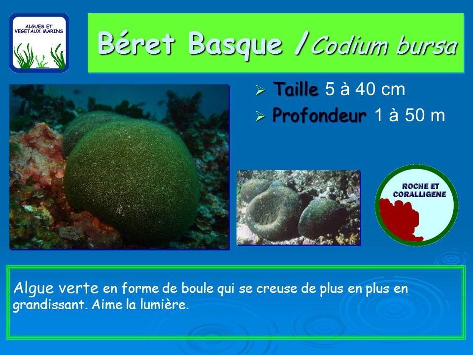 Béret Basque / Codium bursa Taille Taille 5 à 40 cm Profondeur Profondeur 1 à 50 m Algue verte en forme de boule qui se creuse de plus en plus en grandissant.