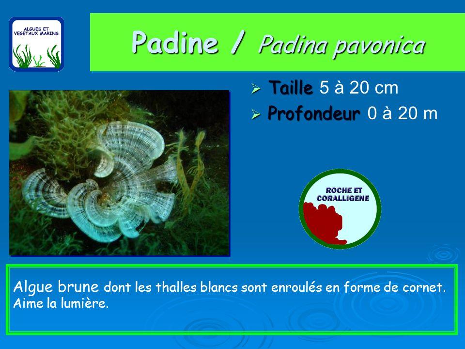 Padine / Padina pavonica Taille Taille 5 à 20 cm Profondeur Profondeur 0 à 20 m Algue brune dont les thalles blancs sont enroulés en forme de cornet.