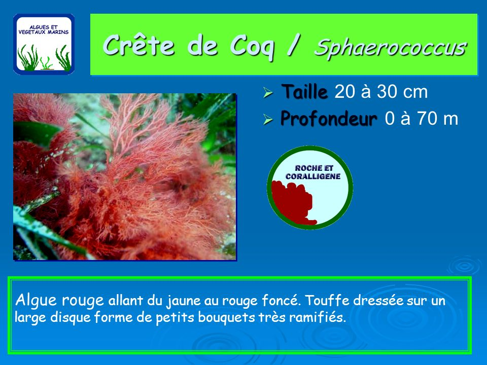 Crête de Coq / Sphaerococcus Taille Taille 20 à 30 cm Profondeur Profondeur 0 à 70 m Algue rouge allant du jaune au rouge foncé.