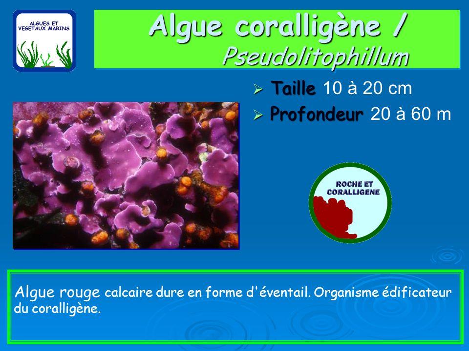 Algue coralligène / Pseudolitophillum Taille Taille 10 à 20 cm Profondeur Profondeur 20 à 60 m Algue rouge calcaire dure en forme d éventail.