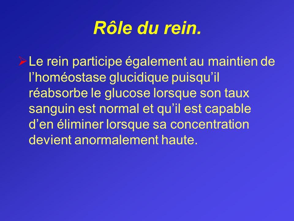 Rôle du rein. Le rein participe également au maintien de lhoméostase glucidique puisquil réabsorbe le glucose lorsque son taux sanguin est normal et q