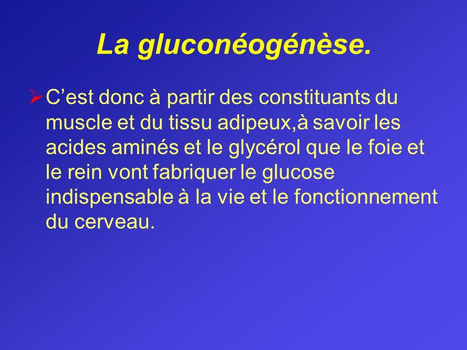 La gluconéogénèse. Cest donc à partir des constituants du muscle et du tissu adipeux,à savoir les acides aminés et le glycérol que le foie et le rein