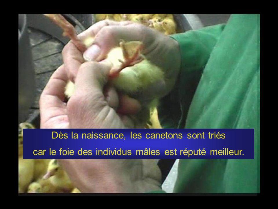 Les images qui vont suivre ont été extraites dun documentaire tourné dans des fermes du Gers et des Landes produisant du foie gras standard, IGP sud-ouest et Label Rouge.