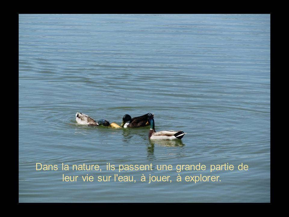 Les canards sont des animaux vifs et gracieux.