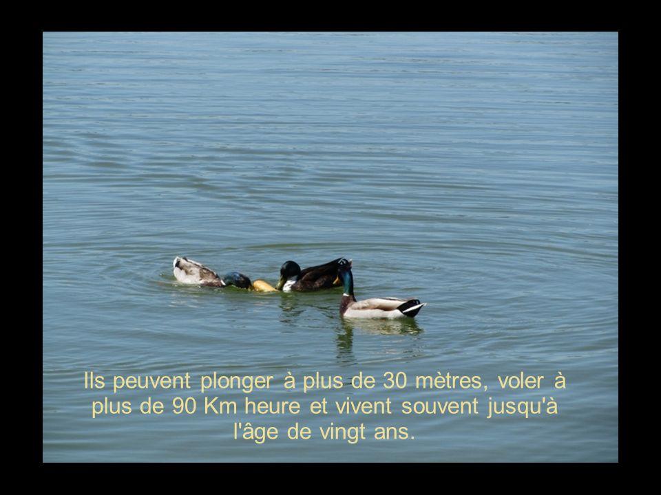 Dans la nature, ils passent une grande partie de leur vie sur l eau, à jouer, à explorer.
