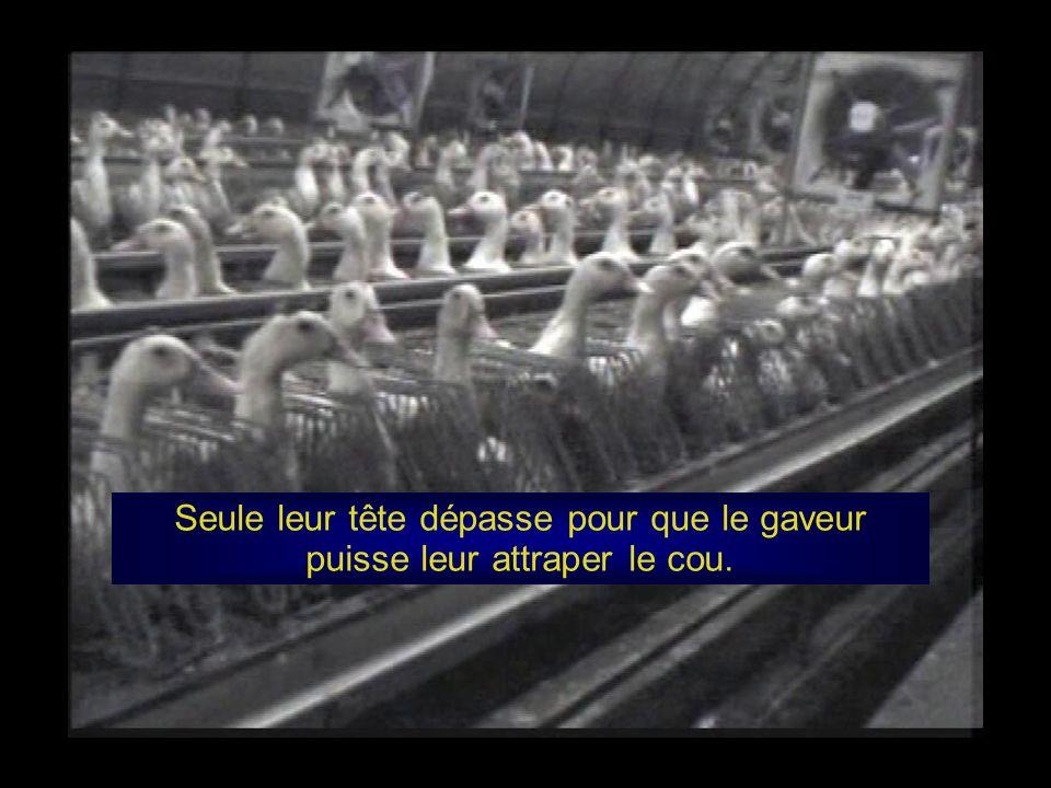 Dans ces cages, leurs pattes se blessent sur le sol en grillage, des cages si petites qu ils ne peuvent même pas se retourner, encore moins se mettre debout ou battre des ailes.