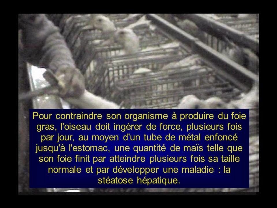 Pour contraindre son organisme à produire du foie gras, l oiseau doit ingérer de force, plusieurs fois par jour, au moyen d un tube de métal enfoncé jusqu à l estomac, une quantité de maïs telle que son foie finit par atteindre plusieurs fois sa taille normale et par développer une maladie : la stéatose hépatique.