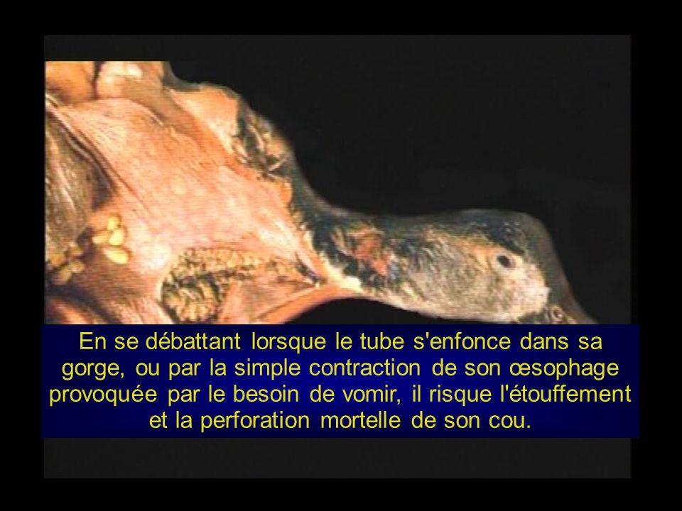 En se débattant lorsque le tube s enfonce dans sa gorge, ou par la simple contraction de son œsophage provoquée par le besoin de vomir, il risque l étouffement et la perforation mortelle de son cou.