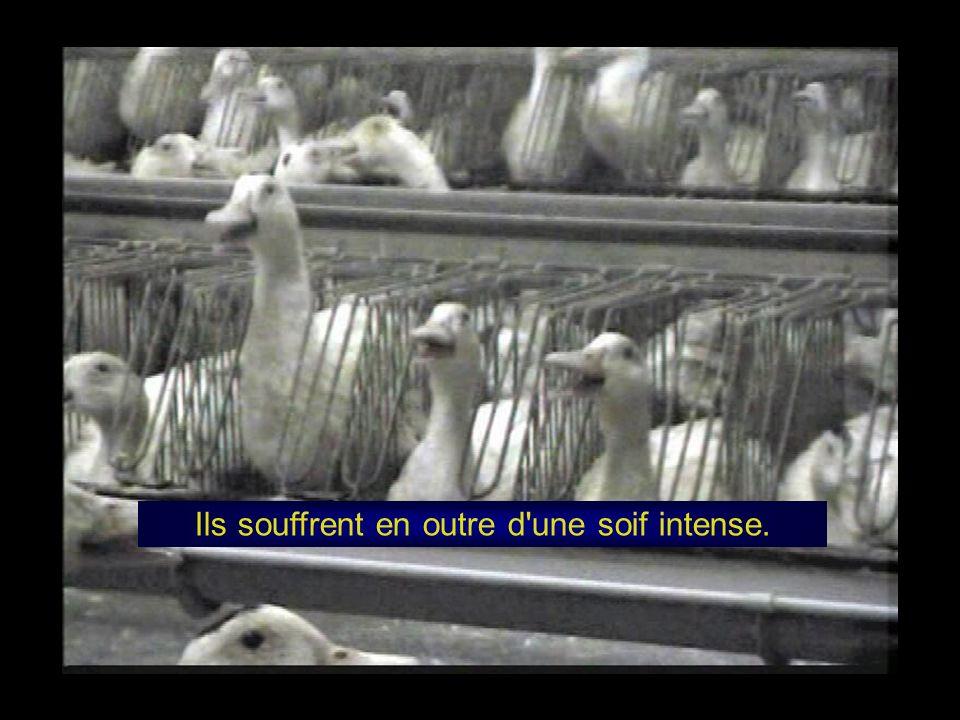 En fin de gavage, leurs poumons sont comprimés par l hypertrophie de leur foie et ils doivent respirer par halètement constant.