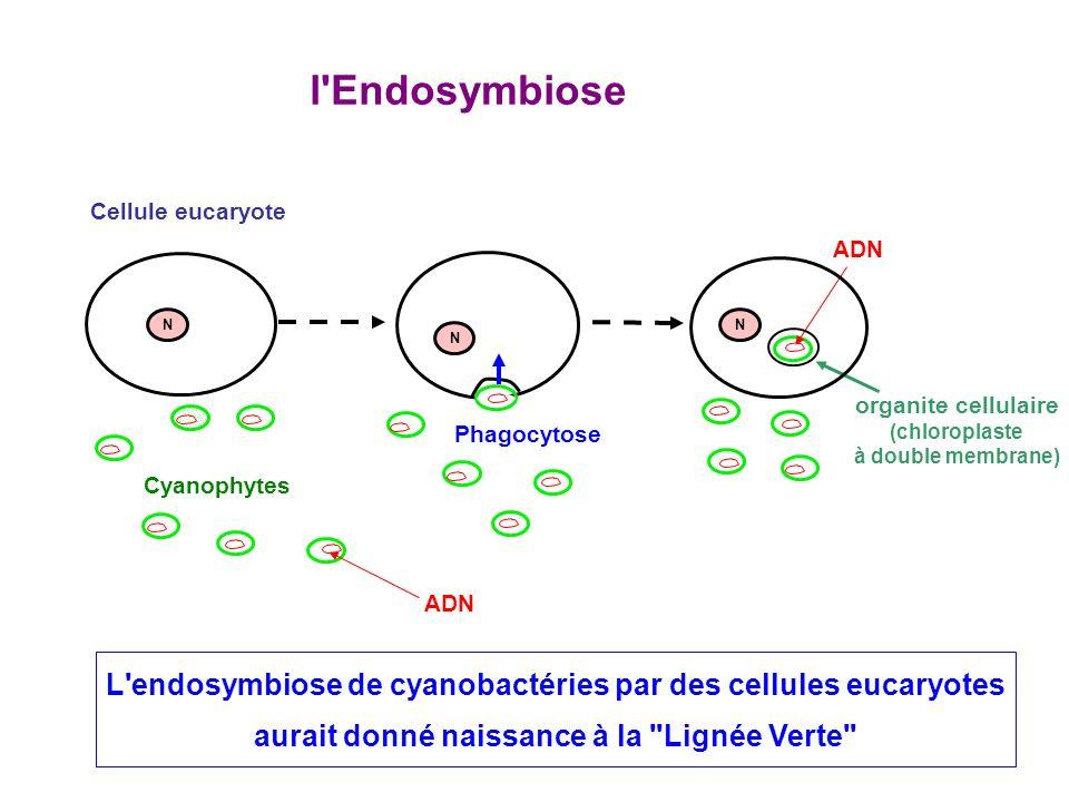 Cyanophytes Cellule eucaryote l Endosymbiose Phagocytose organite cellulaire (chloroplaste à double membrane) ADN N L endosymbiose de cyanobactéries par des cellules eucaryotes aurait donné naissance à la Lignée Verte N N