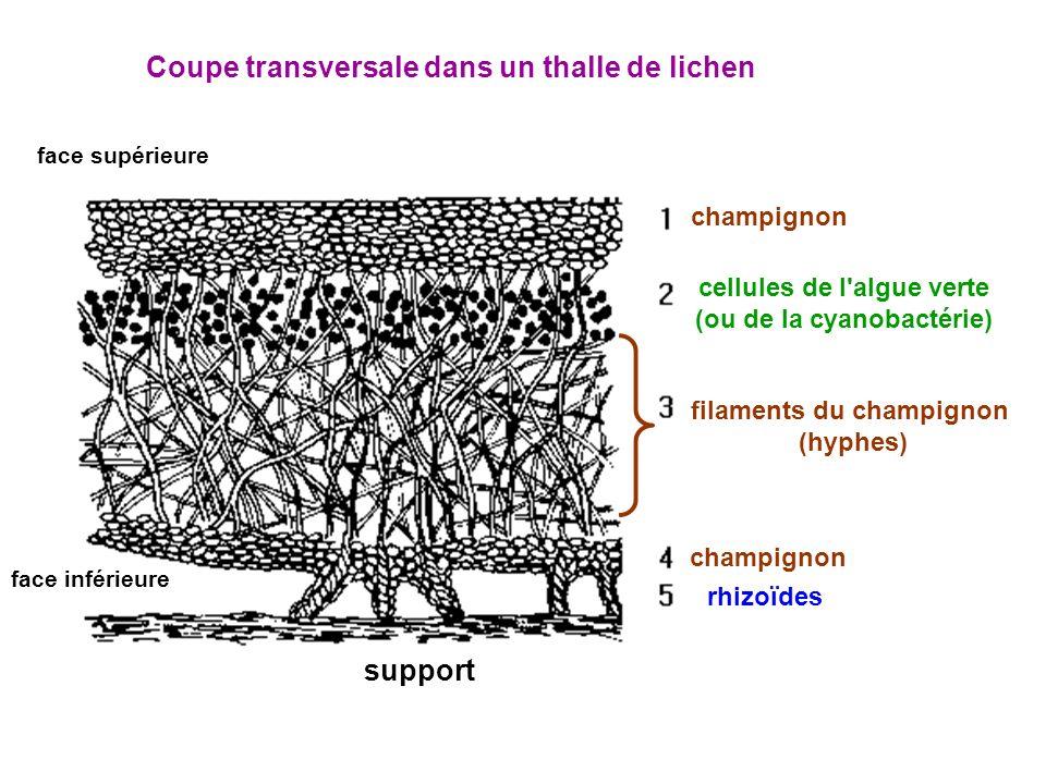 filaments du champignon (hyphes) face supérieure face inférieure cellules de l algue verte (ou de la cyanobactérie) rhizoïdes champignon Coupe transversale dans un thalle de lichen support