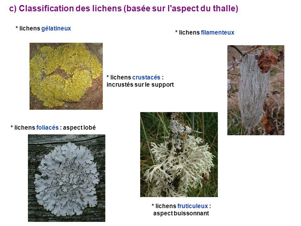 c) Classification des lichens (basée sur l aspect du thalle) * lichens gélatineux * lichens filamenteux * lichens crustacés : incrustés sur le support * lichens foliacés : aspect lobé * lichens fruticuleux : aspect buissonnant