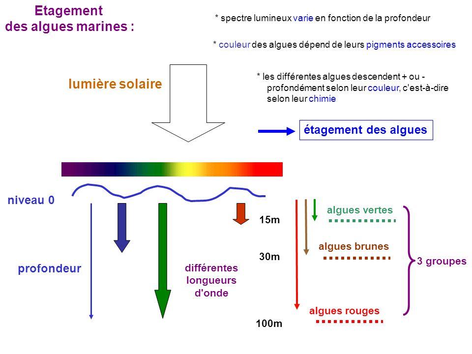 niveau 0 lumière solaire profondeur 15m 30m 100m algues vertes algues brunes algues rouges différentes longueurs d onde 3 groupes Etagement des algues marines : * couleur des algues dépend de leurs pigments accessoires * spectre lumineux varie en fonction de la profondeur * les différentes algues descendent + ou - profondément selon leur couleur, c est-à-dire selon leur chimie étagement des algues
