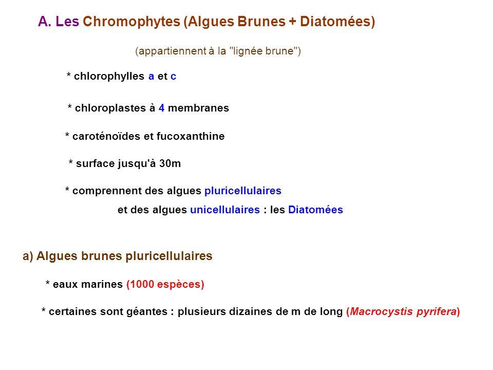 A. Les Chromophytes (Algues Brunes + Diatomées) * chlorophylles a et c * caroténoïdes et fucoxanthine * surface jusqu'à 30m (appartiennent à la