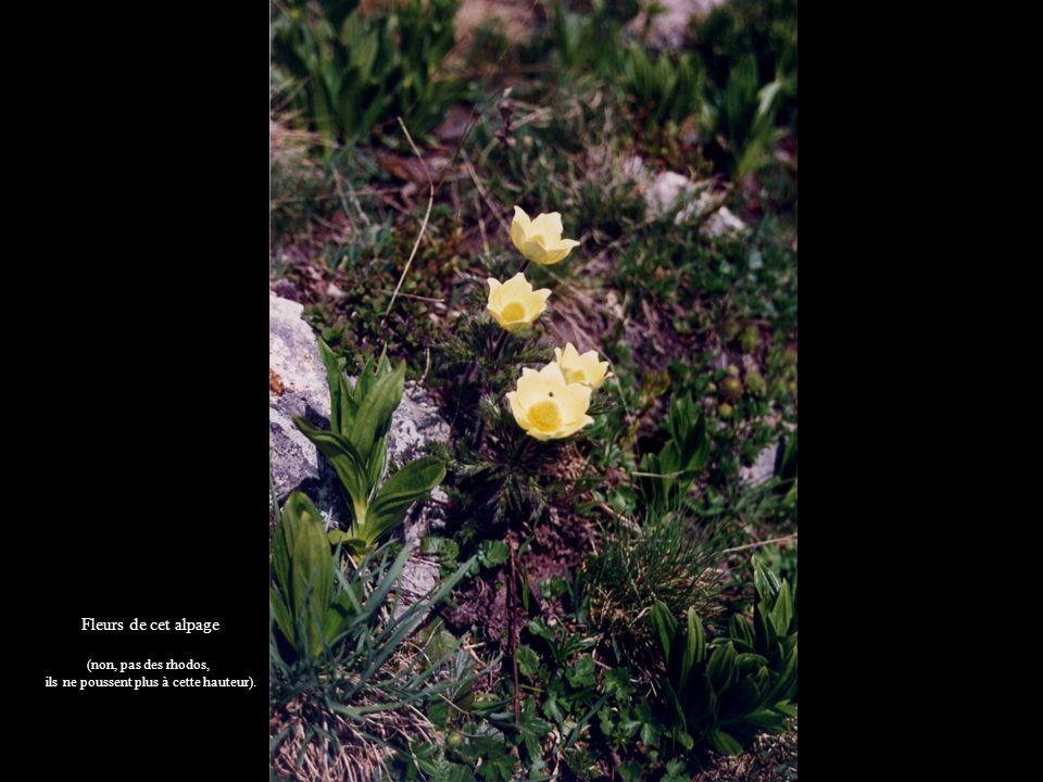 Fleurs de cet alpage (non, pas des rhodos, ils ne poussent plus à cette hauteur).