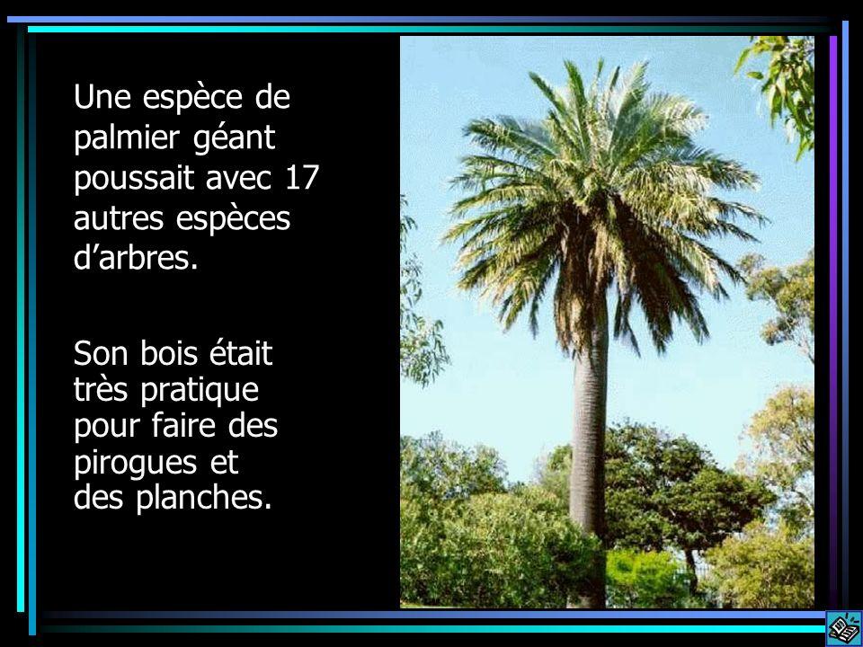 Une espèce de palmier géant poussait avec 17 autres espèces darbres. Son bois était très pratique pour faire des pirogues et des planches.