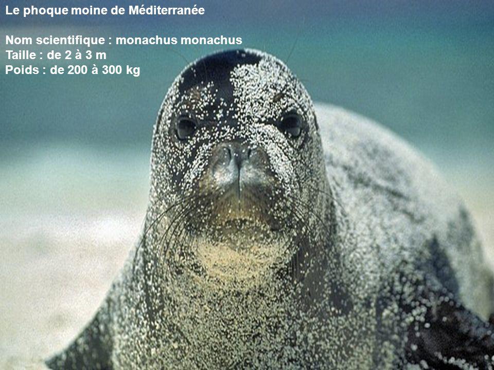 Le phoque moine de Méditerranée Nom scientifique : monachus monachus Taille : de 2 à 3 m Poids : de 200 à 300 kg