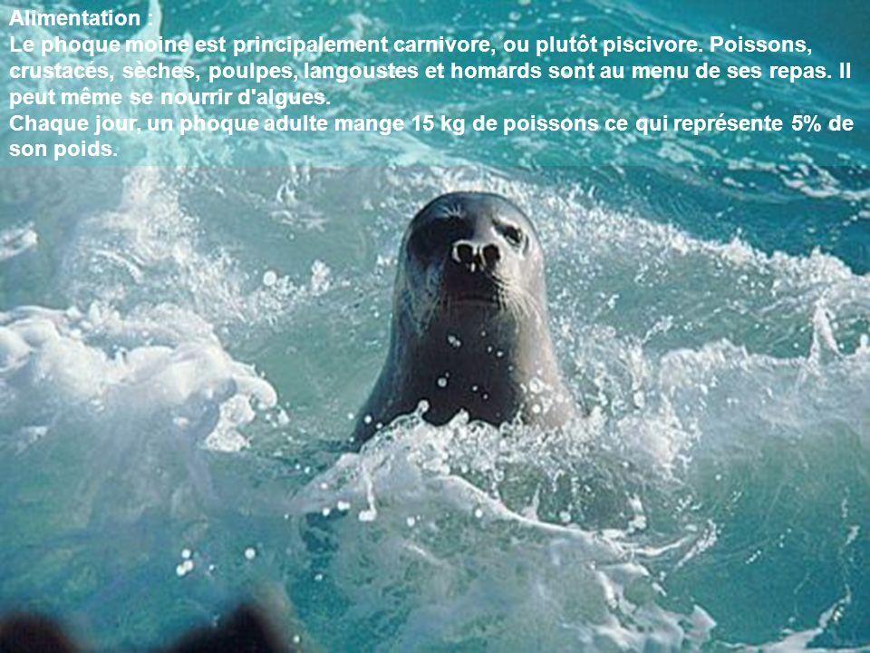 Alimentation : Le phoque moine est principalement carnivore, ou plutôt piscivore. Poissons, crustacés, sèches, poulpes, langoustes et homards sont au