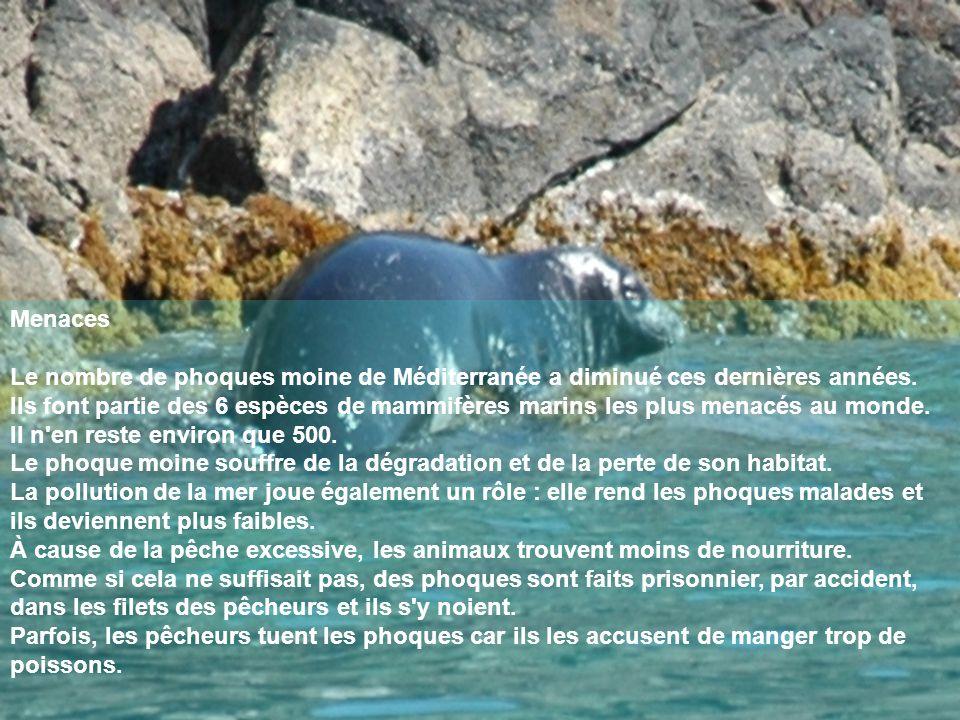 Menaces Le nombre de phoques moine de Méditerranée a diminué ces dernières années. Ils font partie des 6 espèces de mammifères marins les plus menacés