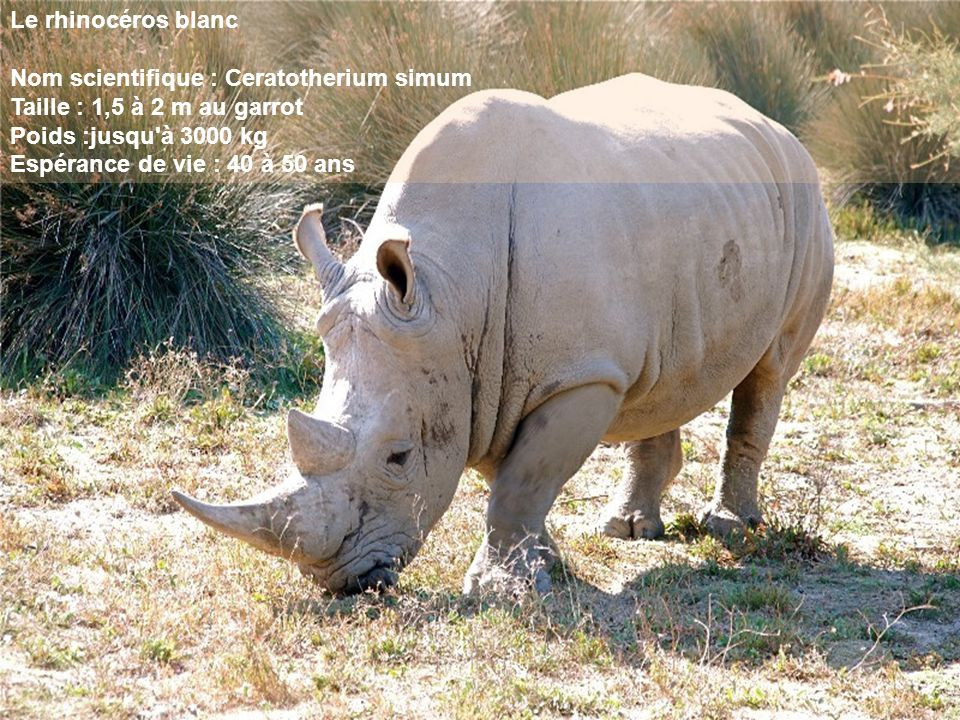 Le rhinocéros blanc Nom scientifique : Ceratotherium simum Taille : 1,5 à 2 m au garrot Poids :jusqu à 3000 kg Espérance de vie : 40 à 50 ans