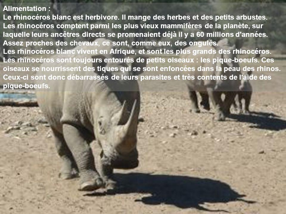 Alimentation : Le rhinocéros blanc est herbivore. Il mange des herbes et des petits arbustes. Les rhinocéros comptent parmi les plus vieux mammifères
