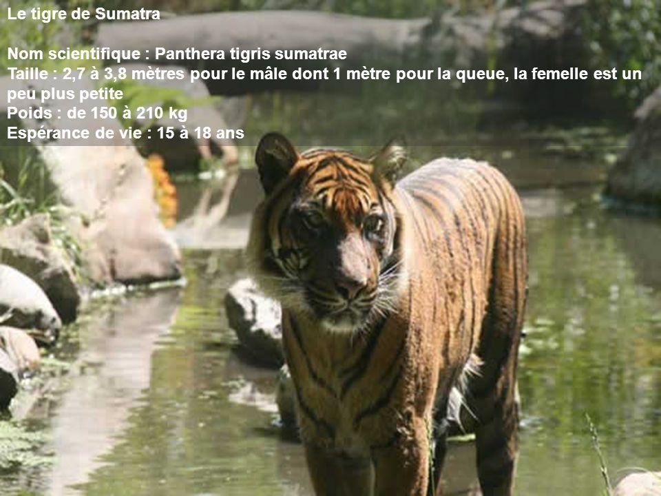 Le tigre de Sumatra Nom scientifique : Panthera tigris sumatrae Taille : 2,7 à 3,8 mètres pour le mâle dont 1 mètre pour la queue, la femelle est un peu plus petite Poids : de 150 à 210 kg Espérance de vie : 15 à 18 ans