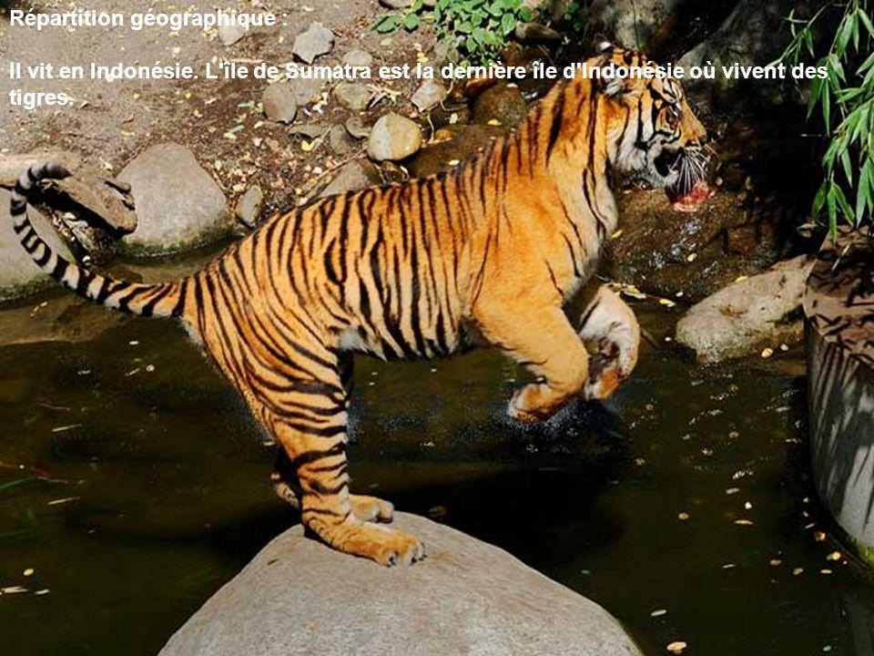 Répartition géographique : Il vit en Indonésie. L'île de Sumatra est la dernière île d'Indonésie où vivent des tigres.