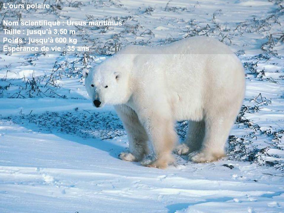 L'ours polaire Nom scientifique : Ursus maritimus Taille : jusqu'à 3,50 m Poids : jusqu'à 600 kg Espérance de vie : 35 ans