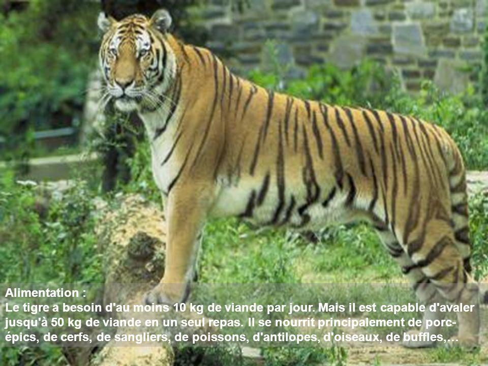 Alimentation : Le tigre a besoin d'au moins 10 kg de viande par jour. Mais il est capable d'avaler jusqu'à 50 kg de viande en un seul repas. Il se nou