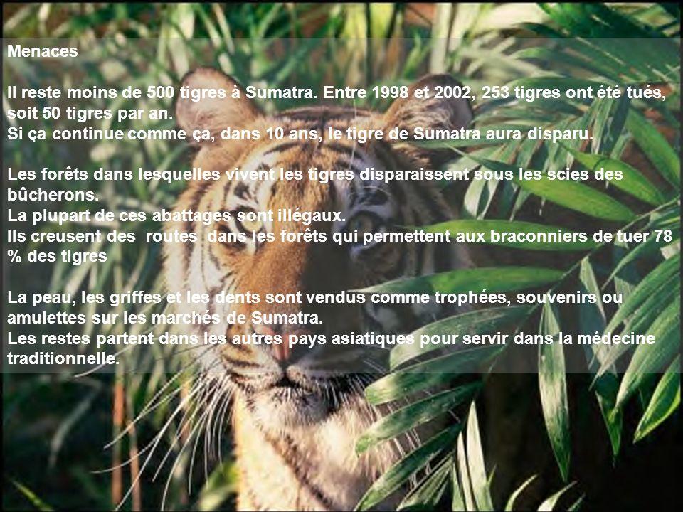 Menaces Il reste moins de 500 tigres à Sumatra. Entre 1998 et 2002, 253 tigres ont été tués, soit 50 tigres par an. Si ça continue comme ça, dans 10 a