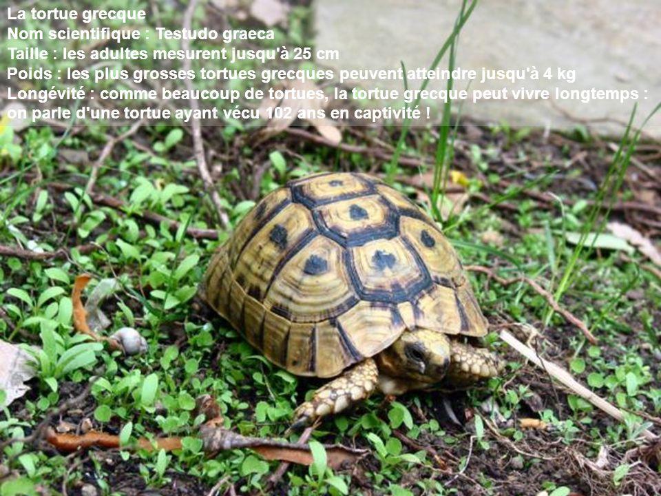 La tortue grecque Nom scientifique : Testudo graeca Taille : les adultes mesurent jusqu à 25 cm Poids : les plus grosses tortues grecques peuvent atteindre jusqu à 4 kg Longévité : comme beaucoup de tortues, la tortue grecque peut vivre longtemps : on parle d une tortue ayant vécu 102 ans en captivité !