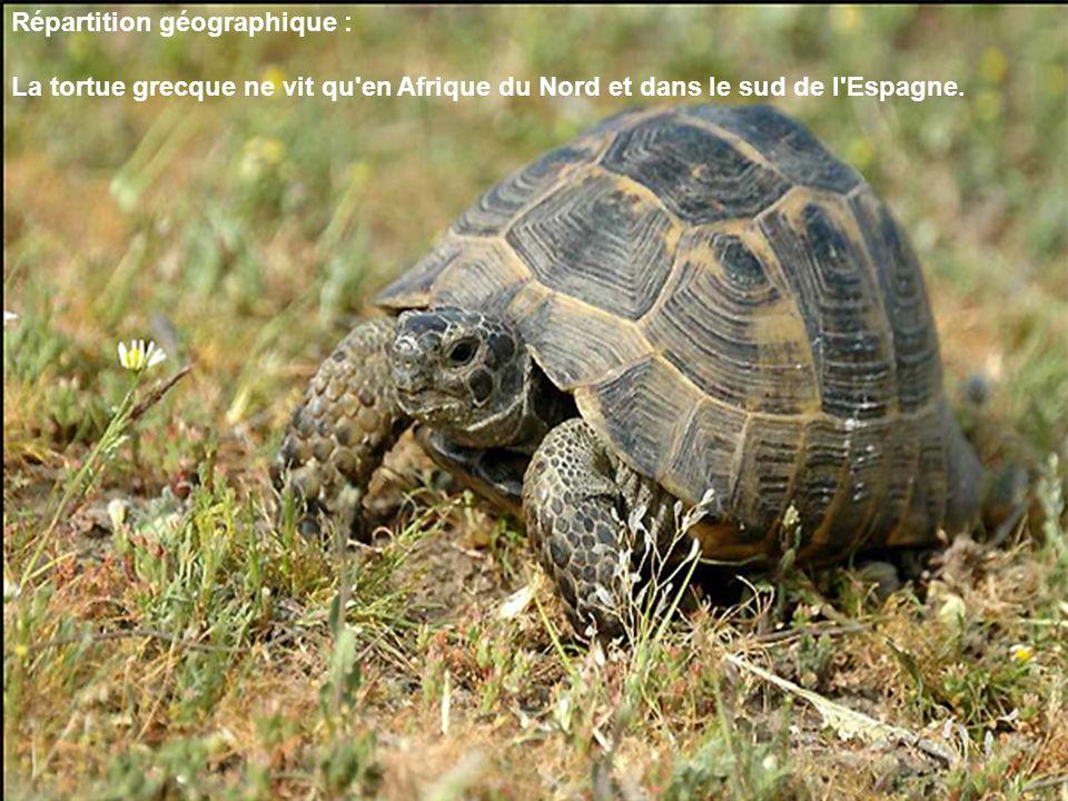 Répartition géographique : La tortue grecque ne vit qu'en Afrique du Nord et dans le sud de l'Espagne.