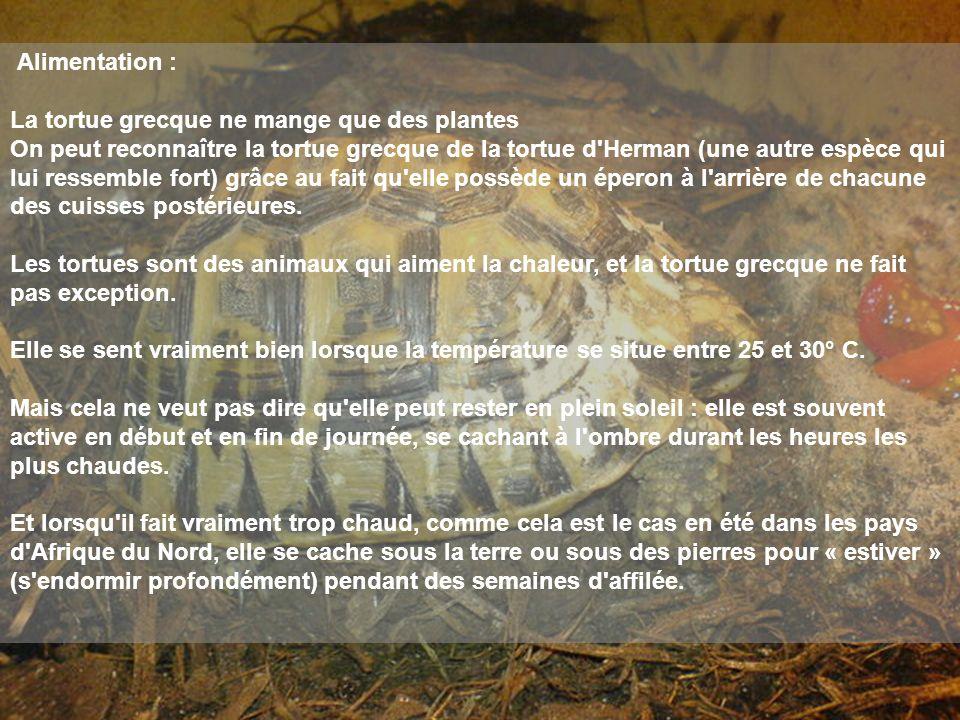 Alimentation : La tortue grecque ne mange que des plantes On peut reconnaître la tortue grecque de la tortue d'Herman (une autre espèce qui lui ressem