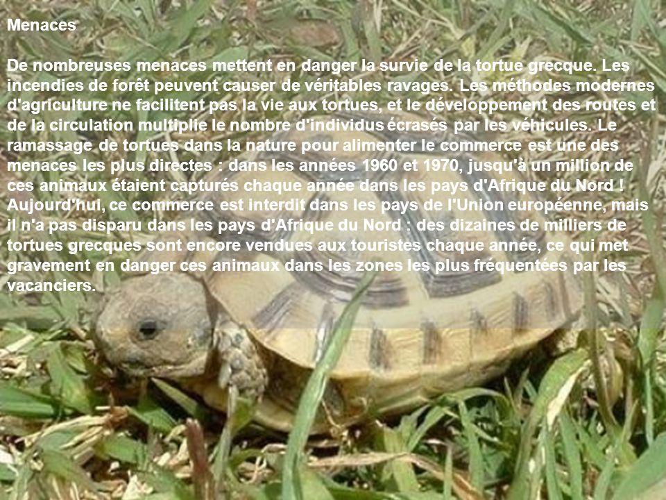 Menaces De nombreuses menaces mettent en danger la survie de la tortue grecque. Les incendies de forêt peuvent causer de véritables ravages. Les métho