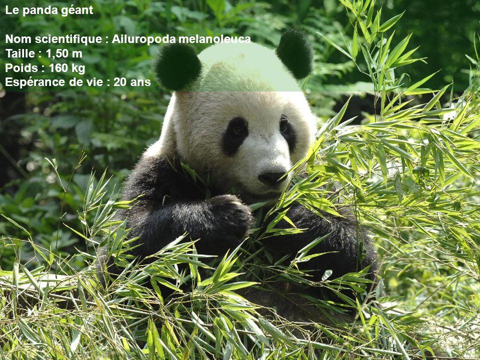 Le panda géant Nom scientifique : Ailuropoda melanoleuca Taille : 1,50 m Poids : 160 kg Espérance de vie : 20 ans