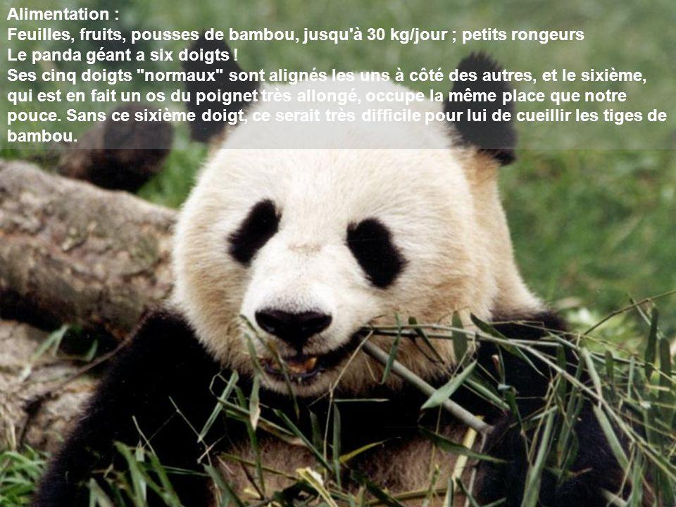 Alimentation : Feuilles, fruits, pousses de bambou, jusqu'à 30 kg/jour ; petits rongeurs Le panda géant a six doigts ! Ses cinq doigts